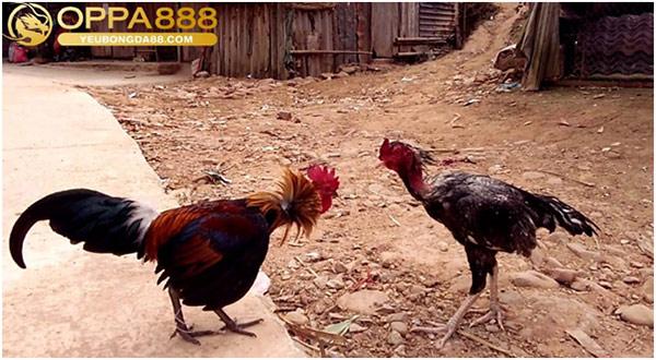 Cách cá cược đá gà luôn thắng 2021 02